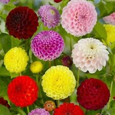 Flower Seeds Dahlia Pompon Mix Colorful Large Organic Original Package