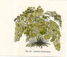 Stampa antica felci ADIANTUM FARLEYENSE botanica 1896 Old Print Ferns