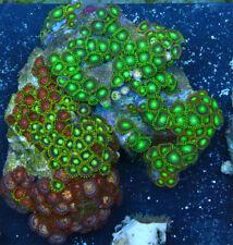 Radioactive Rainbow Zoanthids Live Coral Full Colony Wysiwyg