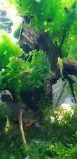 New listing Aquarium plants , Subwassertang Perfect for Shrimp And Fry.