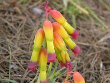 Lachenalia Aloides ~ Stunning Bulbous Perennial Hyacinth ~ ExtremelyRare 5 Seeds