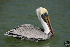 "FABULOUS  PHOTOGRAPH OF A BROWN PELICAN MATTED 14""X 11"""