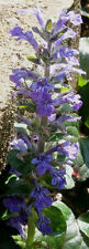 Purple/ Midnight blue bugle - Ajuga reptans - carpet bugle X2