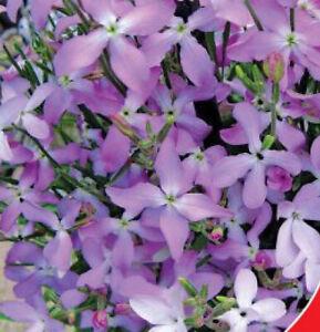 500 х MATTHIOLA FRAGRANT NIGHT STOCK  BICORNIS SCENTED Seeds