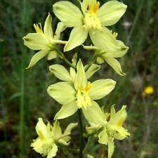 DELPHINIUM SEMIBARBATUM  20 seeds
