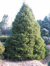 New listing Oriental Spruce. 200 seeds. trees, seeds