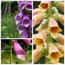 20 Foxglove Flower Seeds Digitalis Rare 7 Kinds Beautiful fragrant Garden Plants
