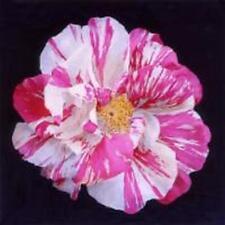Historische Rosa Mundi (Rosa gallica versicolor) im Topf gewachsen