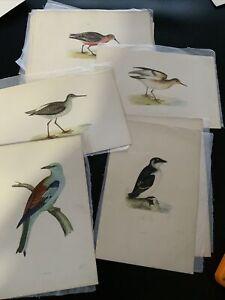 Antique Colour Plate Print F O Morris A History Of British Birds Hand Coloured