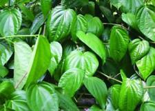 Organic 100% Sri Lankan dried herbal Betel leaf