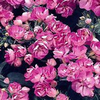Phlox Seeds Promise Lilac Blue 50 Double Flower Phlox flower seeds Phlox drummon