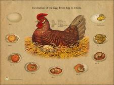 "Chicken Egg Incubation Veterinary Anatomy Poster 18"" X 24"" Wall Chart Fowl"