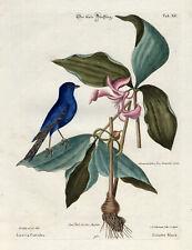 Antique Print-BLAUES NETZ-BLUE LINNET-LINOTTE-PL. XC-Catesby-Seligmann-1768