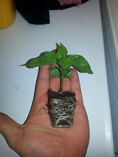 Carolina Reaper Hot pepper! 1 live high quality plant! Worlds Hottest! Organic!