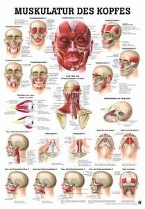 NEU Lehrtafel, Lehrposter, Poster:Kopfmuskulatur - laminiert