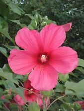 Hibiscus moscheutos Moy Grande PERENNIAL Seeds! HARDY