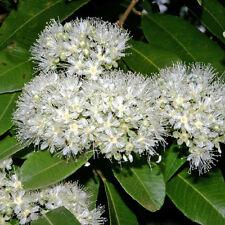 Backhousia citriodora Lemon Scented Myrtle native plant in 50mm pot