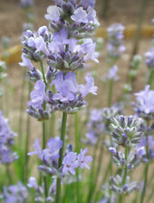 Lavender Munstead, 50 Seeds, Cottage Garden, Fragrant, Perennial LAST ONE
