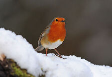 Robin in Snow GREETINGS CARD Steve Greaves Snow Winter Photo Print Xmas Bird Art