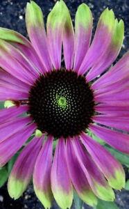 Echinacea purpurea 'Green Twister' Hardy Perennial Garden Plant in 7cm Pot