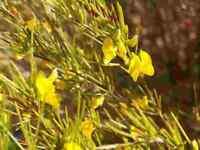 20 Samen Aspalathus linearis, Rooibos-Tee, Rotbusch, Rooibos, Roiboos, selten !
