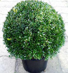 1 x Buchsbaum Kugel, Durchmesser: 45-50 cm, Buxus Kugel + Dünger !