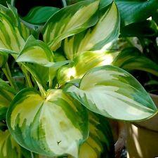 Hosta Plant - RARE BREED - Rare Shade Perennial - Tri-Colored Foliage - 2 Shoots