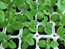 Paulownia tomentosa, Empress Foxglove, kiri 600 semillas, seeds, graines, samen