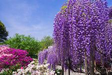 wie ein Blütenmeer hängen die Blüten des BLAUREGENS herab - Saatgut