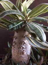 Pachypodium rosulatum caudex plant