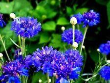 "Organic Flower seeds Cornflower Terry ""Blue Ball"" (Centaurea Cyanus) Vasilyok."