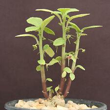 DORSTENIA RADIATA rare succulents caudex exotic caudiciform africa seed 5 SEEDS