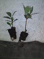 Laurus nobilis - 'Bay Leaf Tree'  - Bay Laurel one live  plant