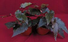 "Angel Wing Begonia Plant Linda Dawn Large 6"" Pot Rare Terrarium (Hnr)"
