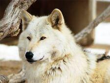 PRINT POSTER PHOTO NATURE ANIMAL WOLF WHITE CANINE DOG BEAUTIFUL EYES NOFL0389