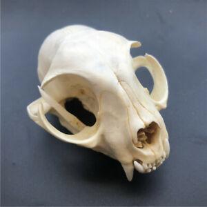 1 pcs real animal skull, complete,specimen, collectible,cat skull, 9cm x 5.5cm