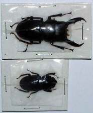 Dorcus taurus 30-50mm Beetle Taxidermy REAL Insect Unmounted