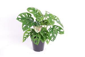 Monstera obliqua Monkey Leaf - MONSTERA MONKEY MASK - Fensterblatt - Affenmaske