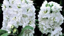 50+ White Evening Stock Matthiola Flower Seeds / Reseeding Annual