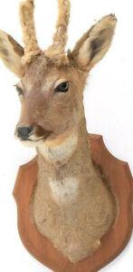 Taxidermy Roebuck Deer Head Oak Shield Mount Capreolus capreolus European