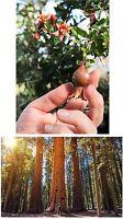 Ein Zwerg und ein Riese treffen sich: Mini-Granatapfel und Riesen-Mammutbaum.