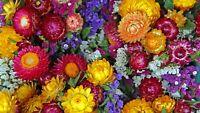 Strawflower , Tom Thumb Mix - 200 Seeds #3022