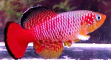 50 N.guentheri Red  aquarium Strain Killifish (killiefish) eggs