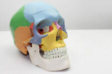 Coloured Bones Didactic Anatomical Human Skull Model Medical Skeleton Anatomy