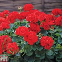Seeds Red Geranium Flowers Bonsai Garden Plants Pots Home Garden 20 Pcs