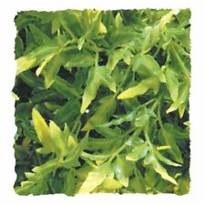 Zoo Med Natural Bush Plants Bolivian Croton   (Free Shipping)