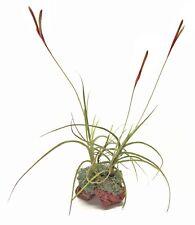 3 Live Air Plants on Lava Rock & Moss Gift HouseVivaria Terrarium Excetive Desk