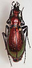 Carabidae Chrysotribax rutilans jeannei Spain #W92 Carabid Beetle Carabus