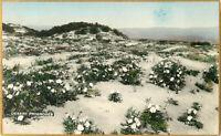 Postcard Desert Primroses