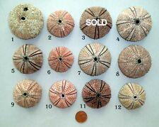 Stony Sea Urchin Arbacia Lixula from Albania. You can choose one.